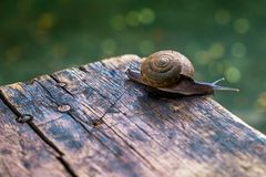 Little snail on wooden table. With bokeh ground Stock Photos