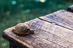 Little snail on wooden table. With bokeh ground Royalty Free Stock Photo