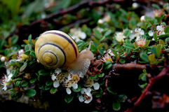Little snail. Yellow snail with black lines on the shell in little white flowers Royalty Free Stock Images
