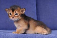 Little somali kitten portrait on blue sofa Royalty Free Stock Photos