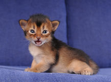 Little somali kitten portrait on blue sofa. With open mouth looking at camera. He is trying to say something Stock Photo