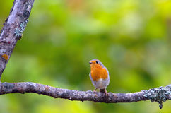 Little songbird robin. On a dry branch Stock Images