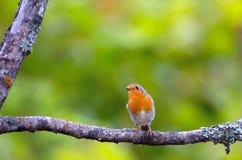 Little songbird robin Stock Images