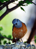 "Little songbird ""south Europe"". Rare bird in Europe Stock Photo"