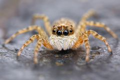 Little spanish jumping spider  Stock Photography