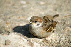 Little sparrow Royalty Free Stock Photos