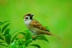 Little Sparrow Royalty Free Stock Image