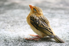 Little sparrow bird. On concrete Stock Image