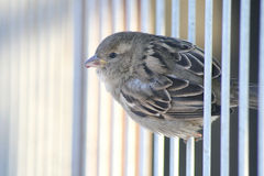 Little sparrow bird on metal bars Royalty Free Stock Image
