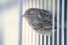 Little sparrow bird on metal bars. Little sparrow bird photo background Royalty Free Stock Image