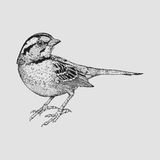 Little Sparrow. Creative detail illustration of Little Sparrow Royalty Free Stock Photo