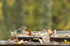 Little Sparrow. This is a cute little sparrow sitting in an old square screen bird feeder with colorful leafs in fall royalty free stock photo