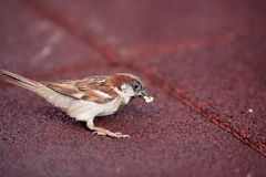 Little sparrow eating Stock Image