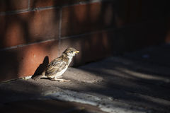 Little sparrow Royalty Free Stock Photo