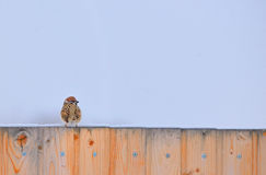 Little Sparrow on fence Stock Image