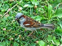 Little sparrow on greeen grass. Little sparrow on greeen grass taken closeup Royalty Free Stock Photo