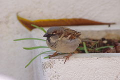 Little Sparrow Royalty Free Stock Photography