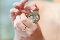 Free Little Sparrow In The Hands Of Stock Photo - 24902910
