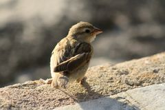 Little sparrow. A little sparrow looking around - Maurotius Royalty Free Stock Image