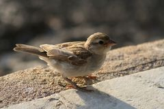 Little sparrow. A little sparrow looking around - Maurotius Stock Photography