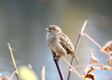 Little sparrow Stock Images