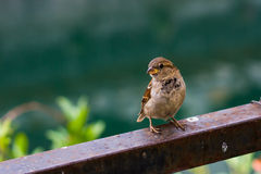 Little sparrow on natural background: golden section Royalty Free Stock Image