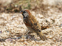 Little sparrow on a sand. Stock Photography