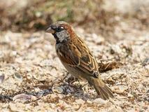 Little sparrow on a sand. Stock Photography
