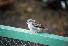 The little sparrow sits on an iron handrail. Birds royalty free stock images