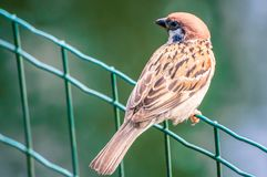 Little sparrow sitting on the fence, looking left, at the park stock photography