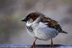Little sparrow sitting Royalty Free Stock Photos