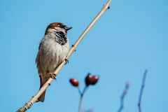 Little sparrow sitting on a tree branch.  Stock Image