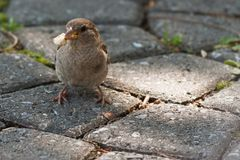Little sparrow holding a piece of bread in his beak. stock image