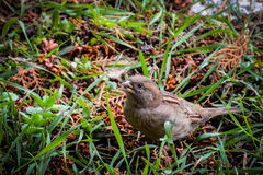 A Little Sparrow Stock Image