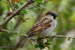 Little sparrow. Who will love the little sparrow Stock Image