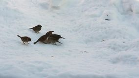Little sparrows eat bread in the snow. Winter stock video footage