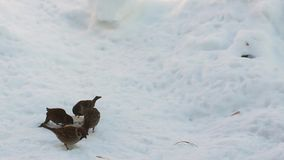 Little sparrows eat bread in the snow. Winter stock footage