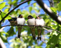 Little sparrows. Four little sparrow birds sitting on a branch Stock Photography