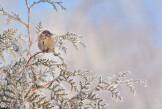 Little Sparrows on pine tree branch Royalty Free Stock Photos