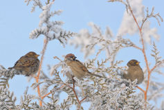 Little Sparrows on pine tree branch Stock Images