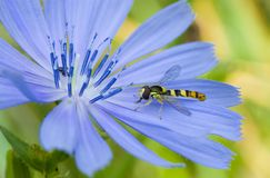 Little species of wasp Royalty Free Stock Image