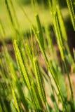 Little spelt - triticum monococcum - poaceae Royalty Free Stock Photography