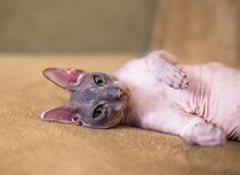 Little sphinx cat. Little funny sphinx cat with green eyes royalty free stock images