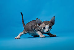 Little sphinx kitten. Little sphinx cat on blue background Stock Image