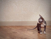 Little Sphynx Cat on Wooden Floor at Home Stock Photography