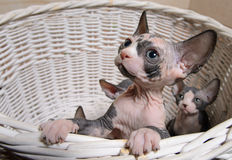 Little Sphynx Cats Inside a Wooden Basket Stock Image