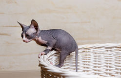 Little Sphynx Cats on the Rim of Wooden Basket Royalty Free Stock Photo