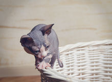 Little Sphynx Cats on the Rim of Wooden Basket Royalty Free Stock Images