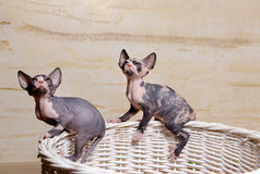 Little Sphynx Cats on the Rim of Wooden Basket Royalty Free Stock Image