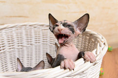 Little Sphynx Kitten in a Basket Screaming Royalty Free Stock Photography